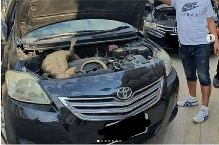 Seekor biawak masuk ruang mesin mobil, membuat pemilik mobil kaget